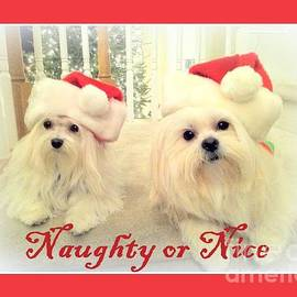 Maltese - Naughty or Nice