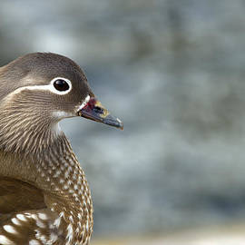 Torbjorn Swenelius - Mandarin Duck