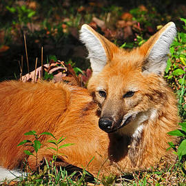Maned Wolf by Mike Martin