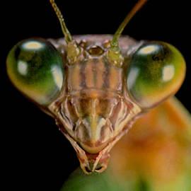 Leslie Crotty - Macro Closup #5 Of 9 Of The Chinese Praying Mantis