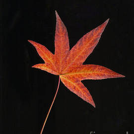Maple Leaf On Black 2 by Sharon Talson