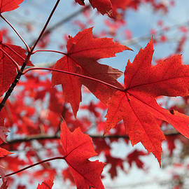 Maple Red 3 by Mary Bedy