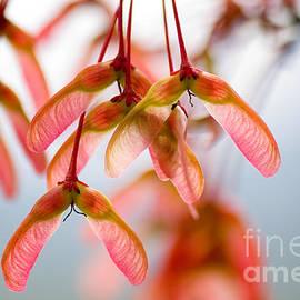 Maple tree seeds by Oscar Gutierrez