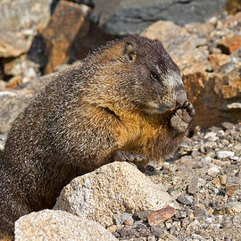 Marmot At Rock Cut In Rocky Mountain National Park by Fred Stearns