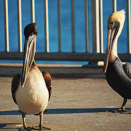 Pair Of Brown Pelicans The Fishing Pier by Mark Fuge