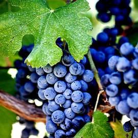 Ron Bartels - Merlot Grapes Harvest Time