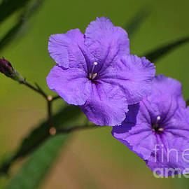 Mexican Petunia by Living Color Photography Lorraine Lynch