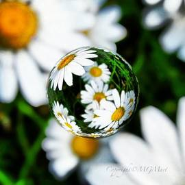 #mgmarts #daisy #flower #weed #summer