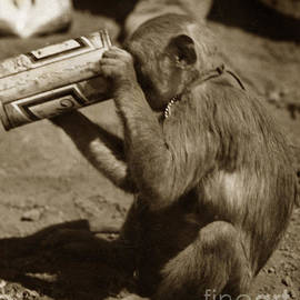 Miller Time monkey friend who used to drink with us at Dak To 1968 by Mr Pat Hathaway Archives