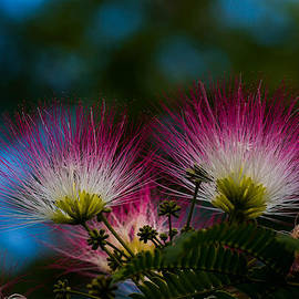 Mimosa blossoms by Haren Images- Kriss Haren