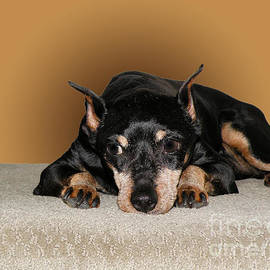 Terry Weaver - Miniature Pinscher
