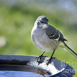 Mockingbird Arkansas State Bird by Nava Thompson