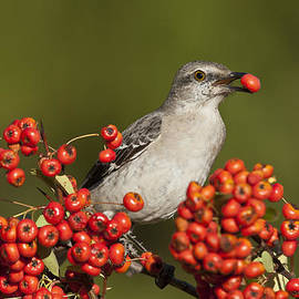 Mockingbird In Berries by D Robert FranzNorthern