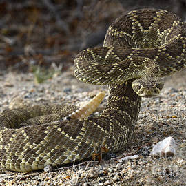 Bob Christopher - Mohave Green Rattlesnake Striking Position