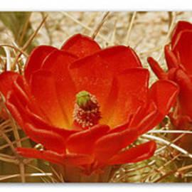 Ben and Raisa Gertsberg - Mojave Mound Cactus Art Poster - California Collection
