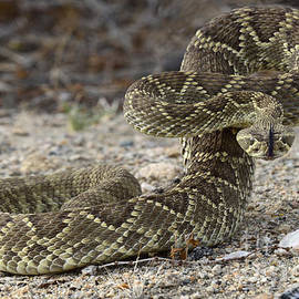 Mojave Green Rattlesnake Ready And Willing by Bob Christopher