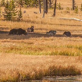 Mollie Pack Fight Over Grizzly Kill by Brenda Jacobs