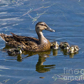 Stephen Whalen - Mom with Ducklings