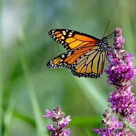 Monarch Butterfly  by Andrea Kollo