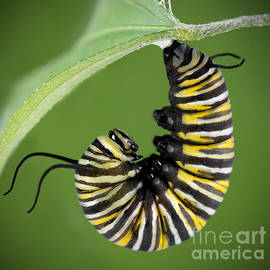 Brandon Alms - Monarch Caterpillar
