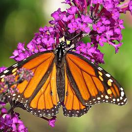 MTBobbins Photography - Monarch Hangs on to Buddleia