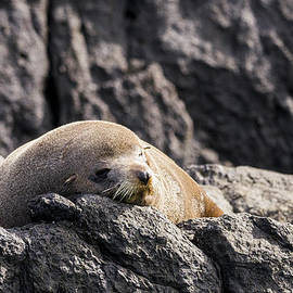 Montague Island Seal by Steven Ralser