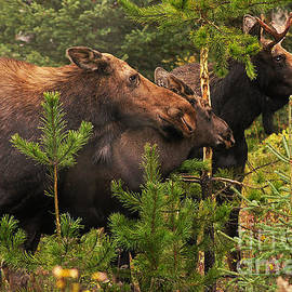 Stanza Widen - Moose Family at the Shredded Pine