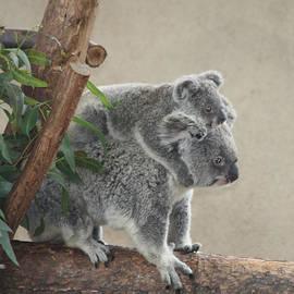 John Telfer - Mother and Child Koalas