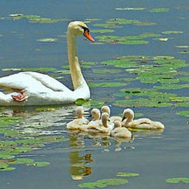 Mother and Cygnets by Ann Horn