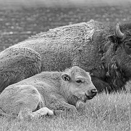 Mother Buffalo and Calf Black and White by Jennie Marie Schell