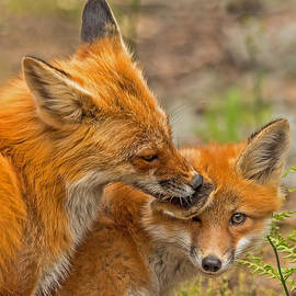 Mother Fox grooming her kit by Steve Dunsford