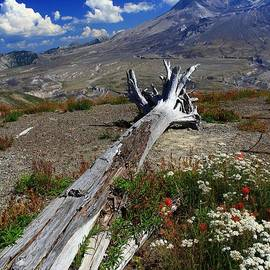 Mount Saint Helens Felled By The Volcano by Mo Barton