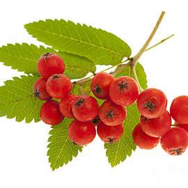Mountain ash berries 3 by Elena Elisseeva