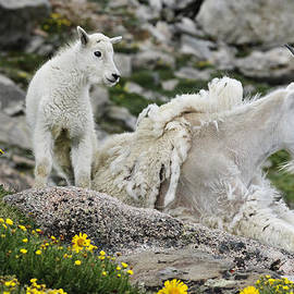 Mountain goat mom and kid, Mt. Evans, Colorado by Randall Roberts