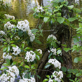 Mountain Laurel 1 by Chris Scroggins