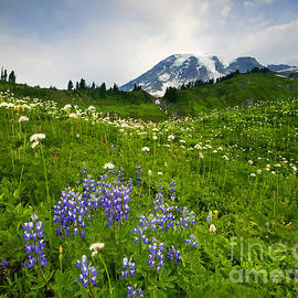 Mt. Rainier Wildflower Profusion by Mike Dawson