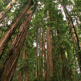 Muir Woods - California by Richard Krebs