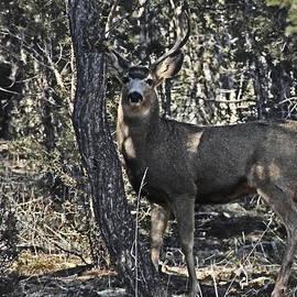 Mule Deer Buck by Bob Hislop