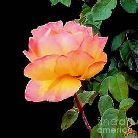 Multi-colored Rose by Janette Boyd
