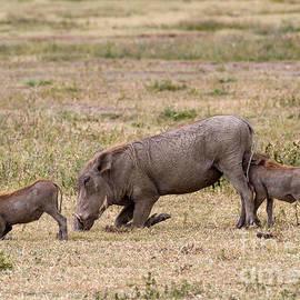 Chris Scroggins - Multi-tasking Warthog