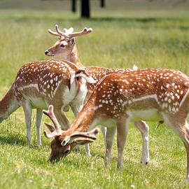 Multitasking Deer In Richmond Park by Rona Black