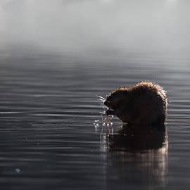 Muskrat by Bill Wakeley