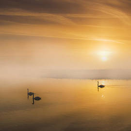Mute Swans at Dawn by Adrian Campfield