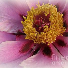 Dora Sofia Caputo Photographic Design and Fine Art -  Romance - Pink Peony