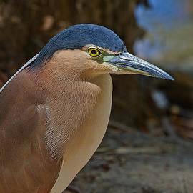 Nankeen or Rufous Night Heron by Mr Bennett Kent
