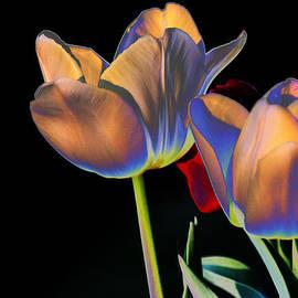 Joseph Coulombe - Neon Tulips