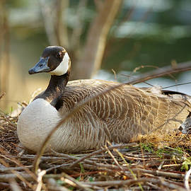 Nesting Mother Canadian Goose by John Magyar Photography