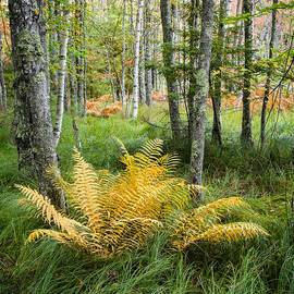 Bill Swindaman - New England Ferns and Forest - Early Fall Acadia National Park