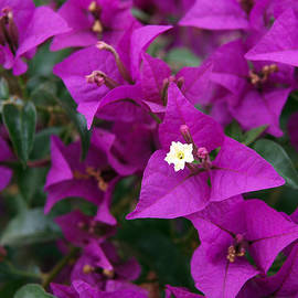 Rona Black - New River Bougainvillea