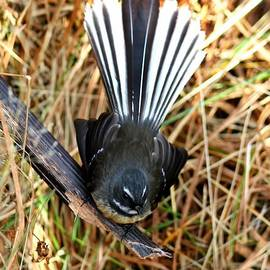 New Zealand Fantail by Amanda Stadther